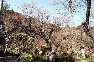 岩割りの梅.jpg