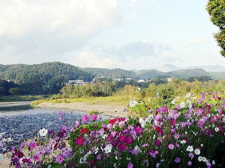 コスモスと大岳山 a .jpg
