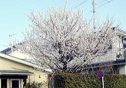 さくらんぼの開花 b burogu.jpg