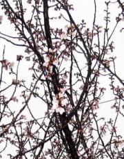 サクランボの花 burogu.jpg