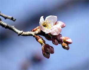 サクランボの花-1 H23.3.16 burogu.jpg