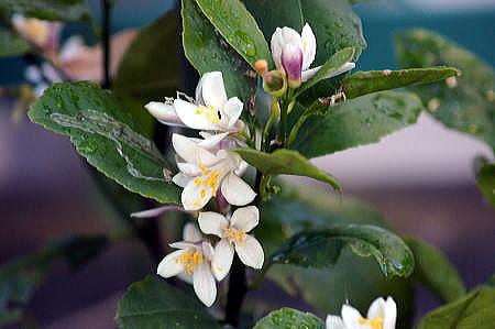 レモンの花 BUROGU.JPG